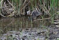 クイナの羽ばたきを見る事が出来ました - 私の鳥撮り散歩