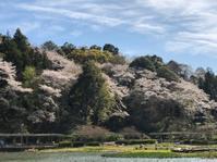 Sakura in Rengeji (蓮華寺池公園の桜) - ファルマウスミー