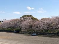 Sakura at Seto River (瀬戸川堤防の桜) - ファルマウスミー