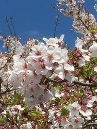 桜 - ササイな日々