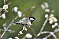 花桃と鳥と・・・ - 鳥と共に日々是好日