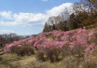 アカヤシオの丘と千本桜公園4/17 - つくしんぼ日記 ~徒然編~
