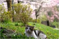 哲学の道と桜と猫 - 4にゃん日記+