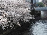 都会の桜ラスト - 光の音色を聞きながら Ⅳ