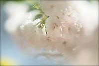 八重桜 - きのう・今日・あした