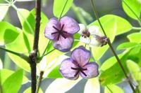 アケビの花、カイツブリ他 - ぶらり散歩 ~四季折々フォト日記~