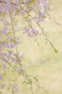 枝垂れ桜 *** - なないろ模様