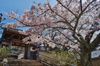 有馬・林渓寺の桜 - たんぶーらんの戯言
