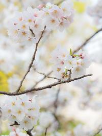 桜 2019その6 - 幡ヶ谷写真部 ~写真好き司法書士の写真ブログ~