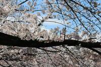 ご近所川沿いの桜☆ぶらりと桜散歩4月1日に。。。 - Let's Enjoy Everyday!