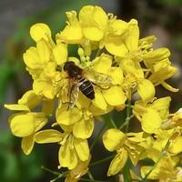 #野菜の花 『蕪』 Brassica rapa var. rapa - 自然感察 *nature feeling*