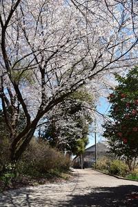 桜めぐり2019遠い記憶 - 光画日記2
