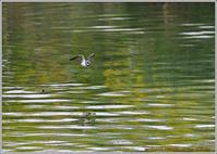 川原のコチドリ-1 - 野鳥の素顔 <野鳥と日々の出来事>