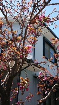 我が家の桜の開花情報 - 五十路を過ぎてブログに挑戦
