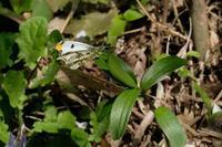 ■ツマキチョウ19.4.16 - 舞岡公園の自然2