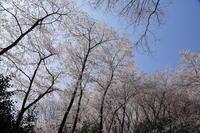 山の辺の道桜咲く4月7日 - ratoの山歩き