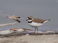 伊佐沼でコチドリを観察 - コーヒー党の野鳥と自然 パート2