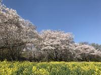 菜の花と桜のコラボ@昭和記念公園 - まましまのひとり言