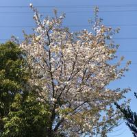 隠れ桜 - のんびりいこうやぁ 2