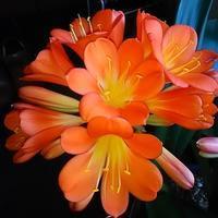 """義弟から譲り受けた""""クンシラン""""美しく7分咲! - 健気に育つ植物たち"""