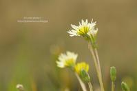 春の花たち*Ⅶ -シロバナタンポポ- - It's only photo 2