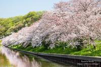 桜並木と - *花音の調べ*