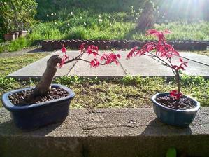 椛の芽出し - 盆栽便り