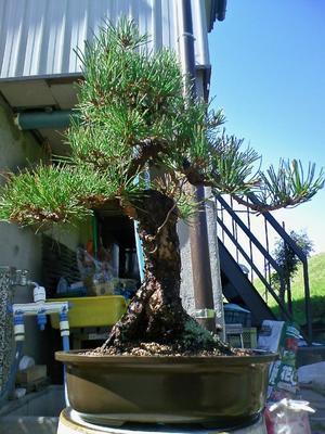 中品黒松の植え替え - 盆栽便り