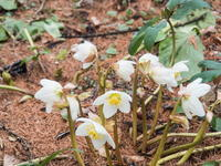春が来た!早咲きのクリスマスローズも咲き始めました。 - 十勝・中札内村「森の中の日記」~café&宿カンタベリー~