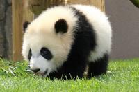 生後8カ月の彩ちゃんは、アドベンチャーワールドのパンダです - 旅プラスの日記