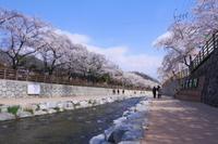 春ウルルン♪⑨金烏山(クモサン)桜祭りへ - Yucky's Tapestry