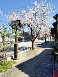 越中八尾の桜満開 - 懐石椿亭 公式weblog日本料理