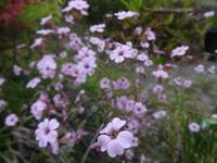 霞草 - だんご虫の花