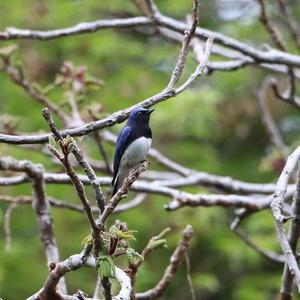 オオルリを近くで撮りたくて訪ねましたが!   YSS - シエロの鳥ノート