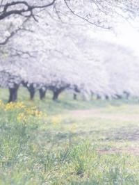 春らんまんの桜並木 - 気のむくままに