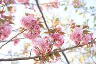 八重桜 - ナナイロノート