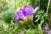 我が家の花フリージア咲く - 風の便り