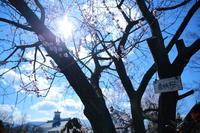 春はシベリアより来ぬ~松本市中央図書館の「魯桃桜」~ - hello,everblue