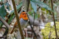 コマドリ - 続 鳥撮るclub