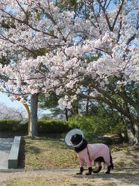 13の桜色 - Genki DaysⅡ