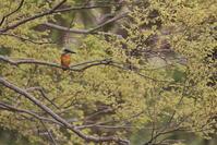 一回り【カワセミ・アオジ・ケリ】 - 鳥観日和