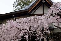 氷室神社の枝垂れ桜@2019-03-30 - (新)トラちゃん&ちー・明日葉 観察日記