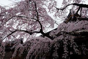 氷室神社の枝垂れ桜@2019-03-30 -