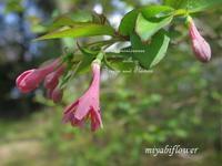 花散歩:鶯神楽、山吹、それから・・・ - 風と花を紡いで