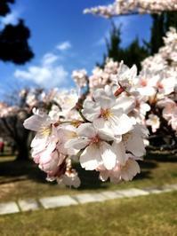 今年の桜1 - ホリー・ゴライトリーな日々