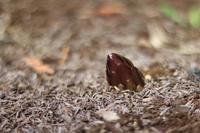 ニョキっと*球根を植えたよ - my small garden~sugar plum~