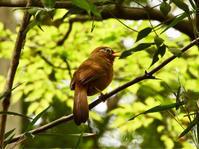 ガビチョウ@生田緑地公園 - 青爺の野鳥日記