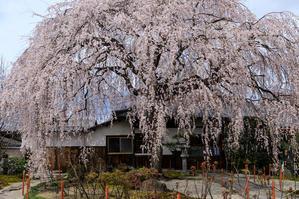 桜咲く京都2019 本満寺の一本桜 - 花景色-K.W.C. PhotoBlog