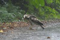 石垣島8・・・カンムリワシ幼鳥 - 赤いガーベラつれづれの記