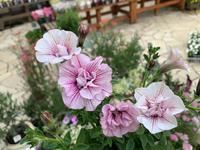 ペチュニアだらけ!! - ブレスガーデン Breath Garden 大阪・泉南のお花屋さんです。バルーンもはじめました。